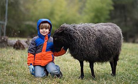 Appletree Farm Gotland Sheep - Eugene, Oregon