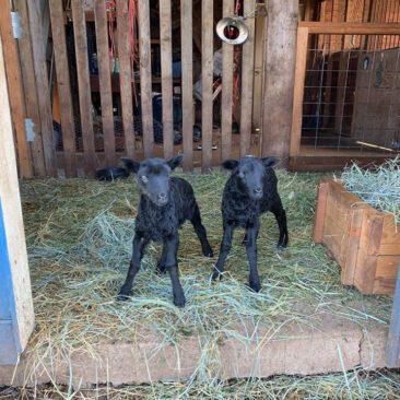 Gotland lambs from Appletree Farm, Eugene, Oregon