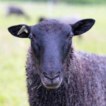 Raising Gotland Sheep at Appletree Farm, Eugene, Oregon