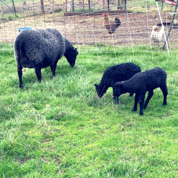 Elsa, Gotland ewe, and her lambs