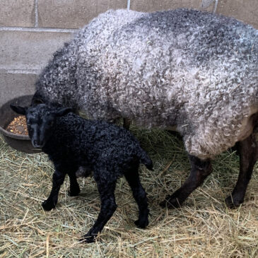 Gotland ewe with her lamb - Appletree Farm, Eugene, OR