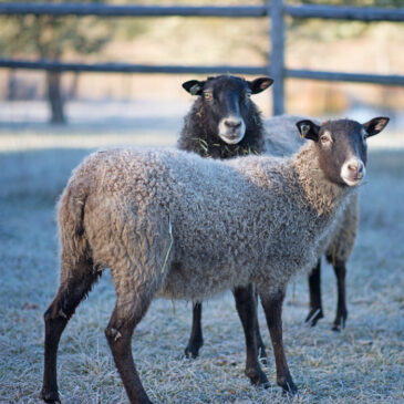 Gotland sheep from Appletree Farm, Eugene, Or