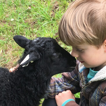 Child with Gotland lamb