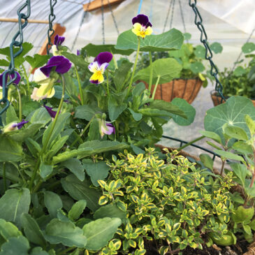 Plants and hanging baskets from Appletree Farm, Eugene, OR