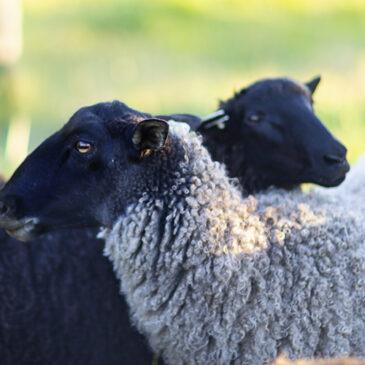 Gotland sheep - Appletree Farm, Eugene, OR