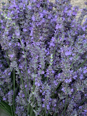 Lavender from Appletree Farm, Eugene, Oregon