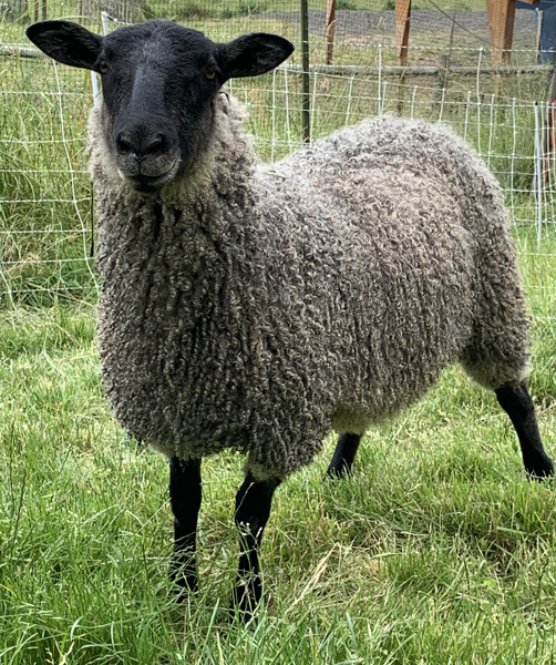 Gotland sheep from Appletree Farm