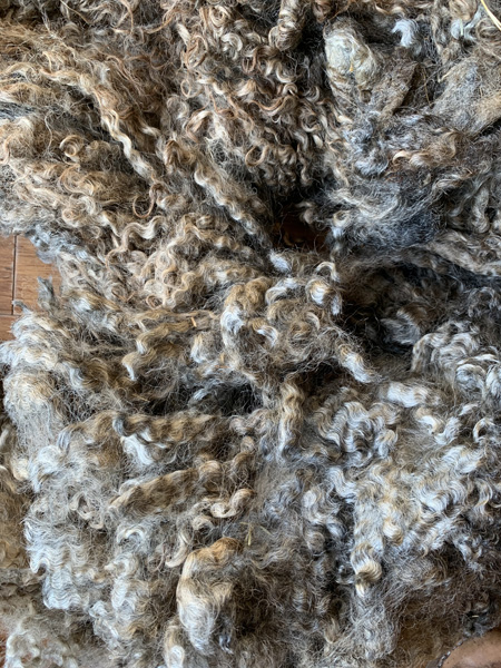 Gotland fleece from Appletree Farm, Eugene, OR