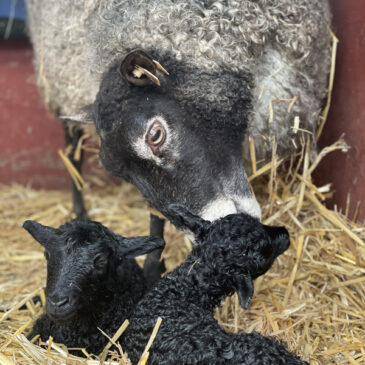 100% Swedish Gotland lambs from Appletree Farm, Eugene, OR